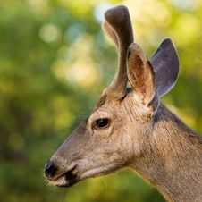 Free Blacktail Stag Profile Royalty Free Stock Images - 14924159