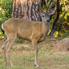 Free Blacktail Stag In Velvet Stock Image - 14924211