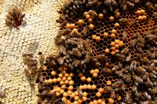 Free Bees On Honeycomb Stock Image - 14924811