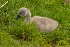 Free Young Swan Stock Photos - 14924863