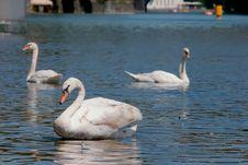 Free Three Swans Royalty Free Stock Photos - 14924878