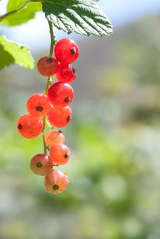 Free Red Currant Royalty Free Stock Photo - 14924995