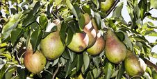 Free Pears Stock Images - 14925944