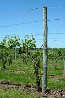 Free Grape Vineyard In Springtime Stock Photography - 14926632