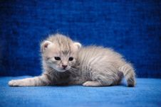 Free Kitten On A Blue Background Royalty Free Stock Photos - 14929538