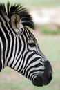 Free Zebra Head Closeup With Blurred Background Royalty Free Stock Photo - 14931015