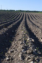 Free Plowed Potato Field Stock Images - 14933104