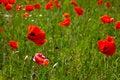 Free Poppy Field Royalty Free Stock Image - 14936936