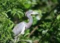 Free Blue Heron Royalty Free Stock Photos - 14938178