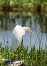 Free Egret 1 Royalty Free Stock Images - 14938199