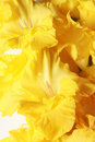 Free Closeup Of Iris Blooms - Vertical Royalty Free Stock Photo - 14938845