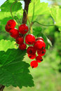 Free Ripe Red Currant Royalty Free Stock Image - 14939326