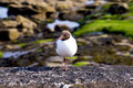 Free Black-headed Gull Royalty Free Stock Images - 14939619