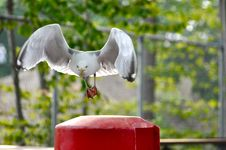 Free Funny Seagull Royalty Free Stock Photography - 14930027