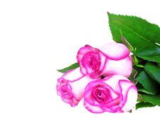 Free Bunch Of Pink Roses Stock Images - 14930264