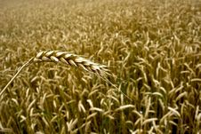 Free Wheat  Field Royalty Free Stock Photos - 14930438