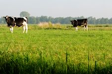 Free Cows Royalty Free Stock Images - 14930909