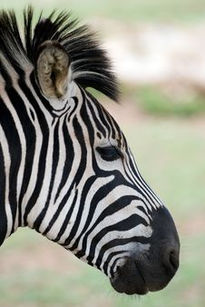 Zebra Head Closeup With Blurred Background Royalty Free Stock Photo