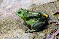Free Green Frog Royalty Free Stock Image - 14931446
