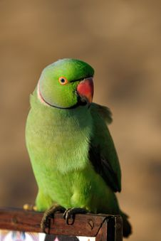 Free Parrot Royalty Free Stock Photography - 14931617