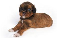 Shisu Puppy Stock Images