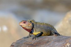 Free Garden Lizard Royalty Free Stock Image - 14932226