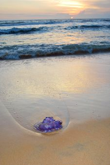 Purple Jellyfish At Sunset Stock Photography