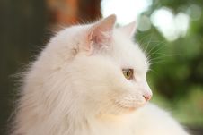 Free White Lady-cat Royalty Free Stock Images - 14933599