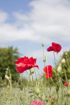 Free Papaver � Corn Poppy Stock Image - 14933801