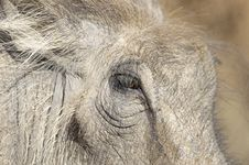Free Close Up Of Warthog Face Stock Photo - 14934140