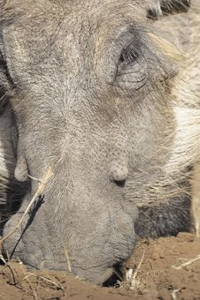 Free Close Up Of A Warthog Face Stock Photo - 14934260