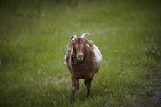 Free Goat With Horns In The Meadow Stock Images - 14934594