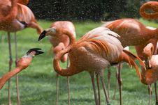 Free Flamingo Portrait Royalty Free Stock Photos - 14935268