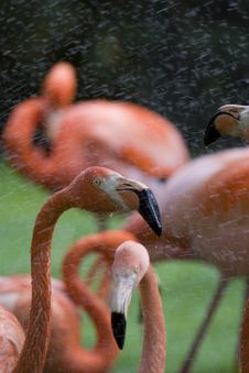 Free Flamingo Portrait Stock Photography - 14935272