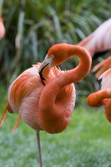 Free Flamingo Portrait Royalty Free Stock Image - 14935276