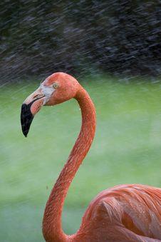 Free Flamingo Portrait Stock Photography - 14935282