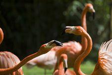 Free Flamingo Portrait Stock Images - 14935284