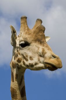 Free Giraffe Portrait Stock Photo - 14935310