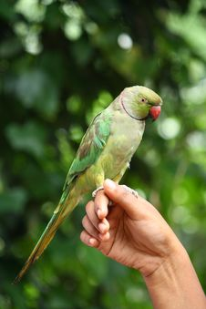 Free Green Parrot Stock Image - 14935931