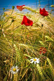 Free Wheat Stock Photography - 14935932