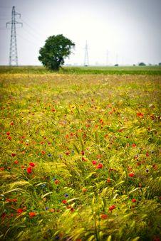 Free Wheat Royalty Free Stock Photos - 14936008