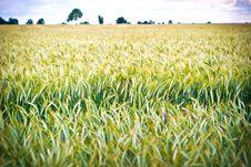 Free Wheat Stock Photo - 14936210