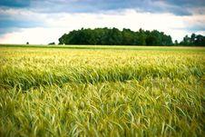 Free Wheat Royalty Free Stock Image - 14936476