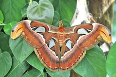 Free Farfalla Cobra Attacus Atlas Stock Image - 14936581