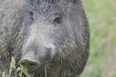 Free Tuscan Boar Royalty Free Stock Photo - 14936615