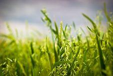 Free Wheat Royalty Free Stock Photos - 14936888