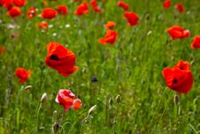 Free Poppy Field Royalty Free Stock Image - 14936936