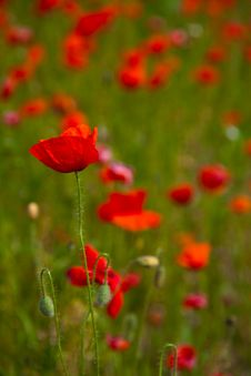 Free Poppy Field Royalty Free Stock Image - 14936956