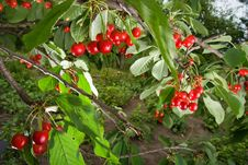 Free Bunch Of  Cherries On A Branch Stock Photography - 14937192