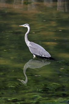 Free Grey Heron Stock Photos - 14937813